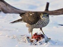 Sparrowhawk-Accipiter nisus, das eine Taube genommen hat stockbilder