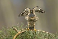 Sparrowhawk-Accipiter nisus, das kleine Vögel betrachtet Stockbild
