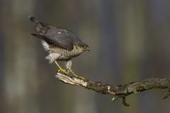 Sparrowhawk-Accipiter nisus Jagd für kleine Vögel Stockbild