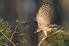 Sparrowhawk-Accipiter nisus Jagd für kleine Vögel Stockbilder