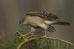 Sparrowhawk-Accipiter nisus Jagd für kleine Vögel Stockfotografie