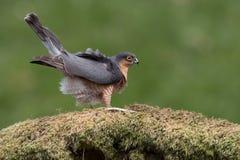 Sparrowhawk Accipiter nisus Stock Photos