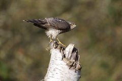 Sparrowhawk; Accipiter nisus Stock Photography