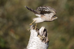 Sparrowhawk; Accipiter nisus Royalty Free Stock Photos