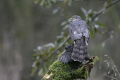 Sparrowhawk, Accipiter nisus Stock Photography