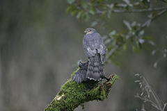 Sparrowhawk, Accipiter nisus Stock Images