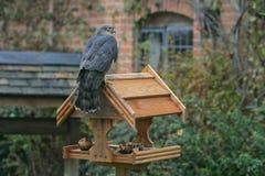 Sparrowhawk, Accipiter nisus Stock Image