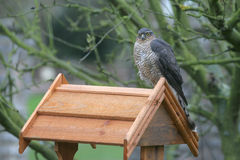 Sparrowhawk, Accipiter nisus Royalty Free Stock Photography