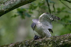Sparrowhawk, Accipiter nisus Royalty Free Stock Photo