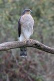 Sparrowhawk, Accipiter nisus Royalty Free Stock Photos