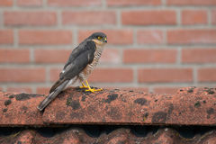 SparrowHawk (Accipiter nisus) sitting on a shed. Royalty Free Stock Images
