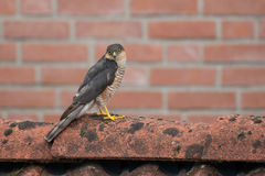 SparrowHawk (Accipiter nisus) sitting on a shed. Royalty Free Stock Photography