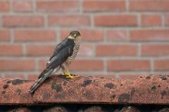 SparrowHawk (Accipiter nisus) sitzend auf einer Halle Lizenzfreies Stockfoto