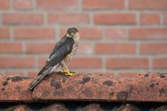 SparrowHawk (Accipiter nisus) sitzend auf einer Halle Lizenzfreie Stockfotografie