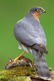 Sparrowhawk (Accipiter nisus) and Woodmouse. A sparrowhawk sits on a moss covered branch with its woodmouse kill. Photographed near Kirkcudbright in southwest royalty free stock image