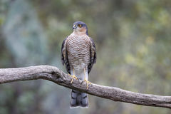 Sparrowhawk Accipiternisus Royaltyfri Bild