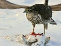 Sparrowhawk Accipiternisus som har tagit en duva royaltyfri foto