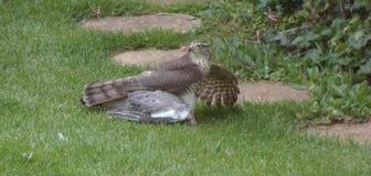 Sparrowhawk avec la proie - série 4 de 5 Photographie stock libre de droits