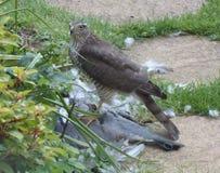 Sparrowhawk avec la proie - série 5 de 5 Photographie stock libre de droits