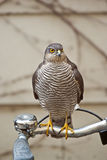 Sparrowhawk on a bike Stock Photo
