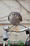 Sparrowhawk on a bike Royalty Free Stock Photography