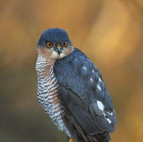 Sparrowhawk Royalty Free Stock Images