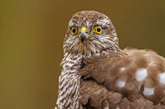 Sparrowhawk close-up Royalty Free Stock Photo