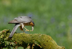 Sparrowhawk com rapina Fotografia de Stock Royalty Free