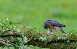 Sparrowhawk com rapina Imagem de Stock Royalty Free