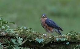 Sparrowhawk com rapina Foto de Stock