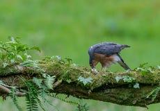 Sparrowhawk com rapina Imagem de Stock