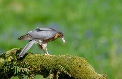 Sparrowhawk con la preda Immagine Stock Libera da Diritti