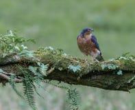 Sparrowhawk con la preda Fotografie Stock Libere da Diritti