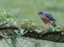 Sparrowhawk con la preda Immagini Stock Libere da Diritti
