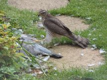Sparrowhawk con la preda - serie 3 di 5 Fotografia Stock