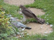 Sparrowhawk con la presa - serie 3 de 5 Fotografía de archivo