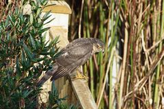 Sparrowhawk. The Eurasian sparrowhawk, also known as the northern sparrowhawk or simply the sparrowhawk, is a small bird of prey in the family Accipitridae. This royalty free stock photos