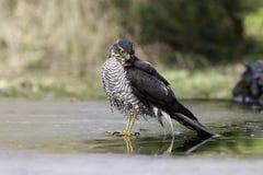 Sparrowhawk eurasien se tenant sur la glace Images stock