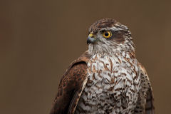 Sparrowhawk euro-asiático foto de stock