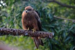 Sparrowhawk euro-asiático, florestas do Maharashtra, Índia fotografia de stock