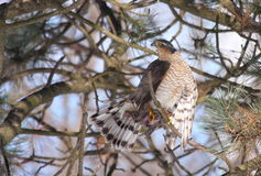 Sparrowhawk euroasiatico Immagine Stock Libera da Diritti