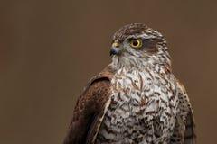Sparrowhawk euroasiatico fotografia stock