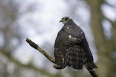 Sparrowhawk euroasiatico che si siede su un ramo fotografia stock libera da diritti