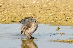 Sparrowhawk, female / Accipiter nisus Royalty Free Stock Photos