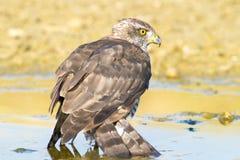 Sparrowhawk, female / Accipiter nisus Stock Images