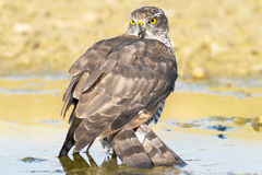 Sparrowhawk, female / Accipiter nisus Royalty Free Stock Photography