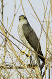 Sparrowhawk, female / Accipiter nisus Stock Photos