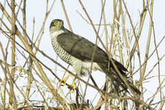 Sparrowhawk, female / Accipiter nisus Stock Image