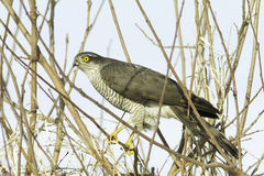 Sparrowhawk, female / Accipiter nisus Royalty Free Stock Photo