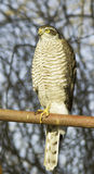 Sparrowhawk female perching on a post / Accipiter nisus Royalty Free Stock Photos